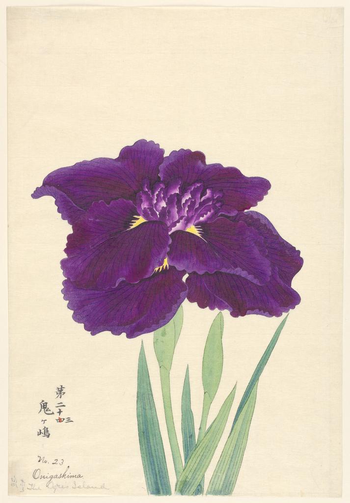 A large deep purple iris.