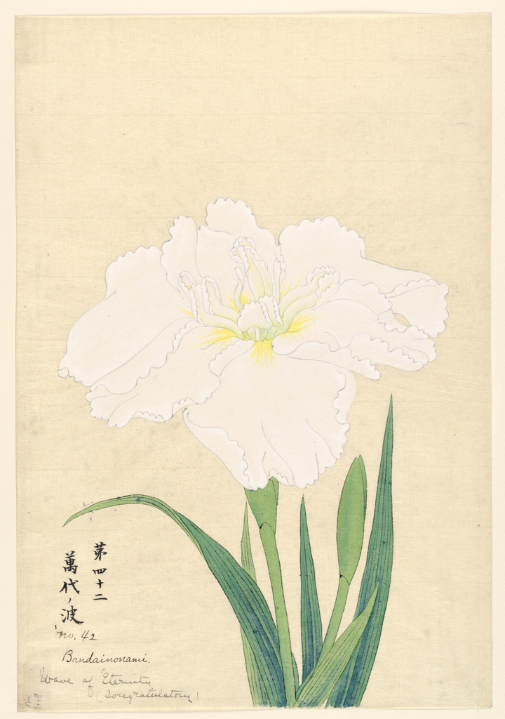 A large iris in white; inner leaves showing green tints.