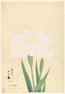 A large white iris, outer perianth leaves with rays of light violet tints.