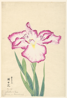 A large iris, white with magenta tips.