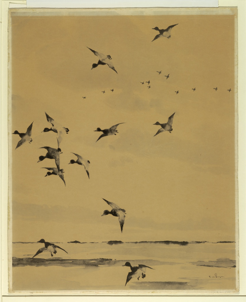 A flock of ducks is seen rising from broad marshland. Another flock in flight formation in the distance.