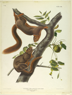 Print, Orange-Bellied Squirrel,
