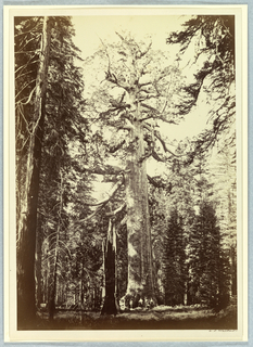 Photograph, The Grizzly Giant, Mariposa Grove, Yosemite, before April 1864