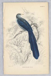 A blue bird with large dark blue tail on a branch in dense jungle foliage. Title and artists' names below.
