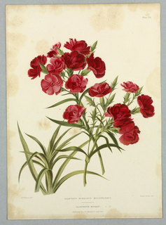 "Dianthus Hybridus Multiflorus, Plate LI from Edward George Henderson's ""The Illustrated Bouquet."""