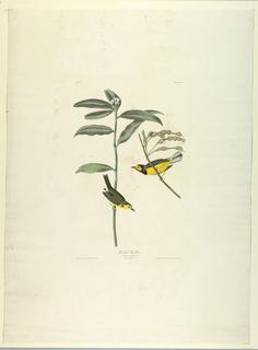 Print, Hooded Warbler, ca. 1831