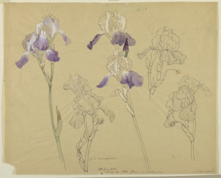 Horizontal sheet illustrating six studies of iris, three of which are colored with white, yellow, green and violet.