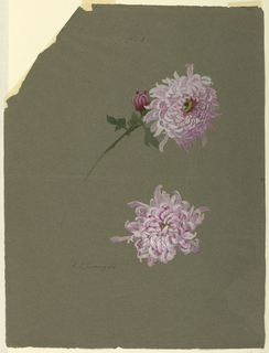 Two violet chrysanthemum blossoms, one with stalk, leaf and bud in the center of the page.