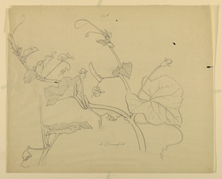 Horizontal sheet depicting two studies of squash vine with leaves, tendrils and blossoms.