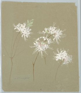 Vertical sheet depicting white and pink wild azalea blossoms with green foliage.  On verso, sprays of white and pink dogwood.  Mounted so that the verso is displayed.