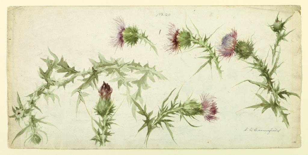 Drawing, Six Studies of Thistles