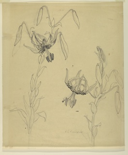 Vertical sheet depicting two stalks of tiger lilies, each with buds and one open blossom.