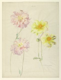 Vertical sheet depicting studies of dahlias.  The recto has two yellow dahlias at right and two pink dahlias at left.  The verso contains one red dahlia.