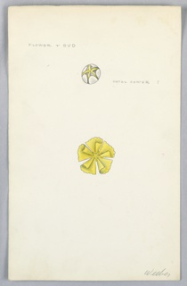On single illustration board: 2 drawings of yellow flower and bud.