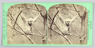 Stereoscope Slide, Zoo animals
