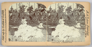 Steroscope Sides, Cotton is king. A plantation scene