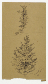 Two studies of young pines on a sketchbook page.  One is shown above the other, with a horizontal line between them.