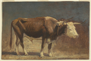 A steer, having a yoke around the neck, shown in profile, standing on sandy ground and turned toward right. Only a part of the yoke to which he is fastened is shown.