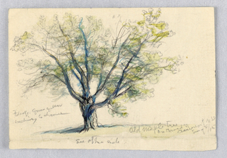 Drawing, Sketch, Maple Tree