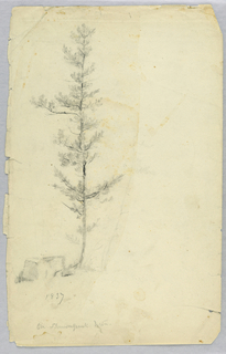 Study of a scrawny pine tree with a rock below, at left.