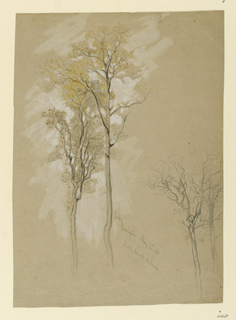 Recto: Vertical view of oaks, one standing behind the other at left and two more oaks at right. Verso: An incomplete sketch of a dead tree at right edge.