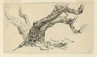 Drawing, Sketches. Sycamores, Santa Barbara, California, ca. 1888
