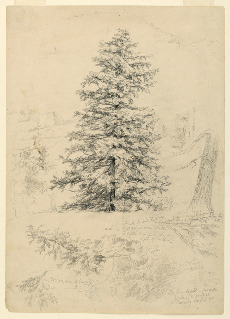 Vertical view of a large, full hemlock at center, surrounded by partial sketches.  Near view of trunk at right. Details of foliage, below, with notes. [see remarks for greater detail]