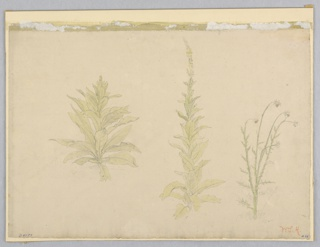 Sketch of three species of mullein plants.