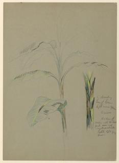 Drawing, Banana Plant