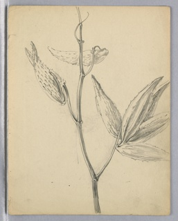 Single branch with three milkweed pods, one open and two closed.