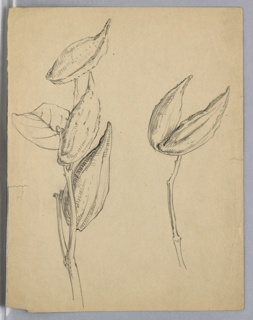 Two sketches of milkweed branches, one with three pods, other with single pod partly open.