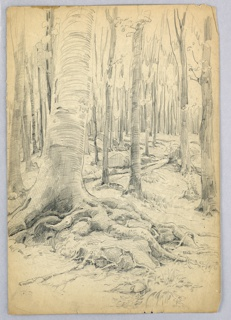 Large tree trunk is seen at left, leaning slightly toward right, with above-ground roots extending toward right. In the background, tree trunks progressively smaller and more numerous extend into back center. Vegetation and rocks scattered throughout.