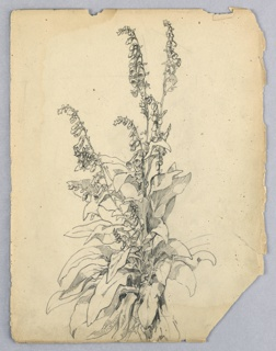 Plant drawn with cluster of leaves at bottom out of which several stalks of foxglove flowers reach toward top of page.
