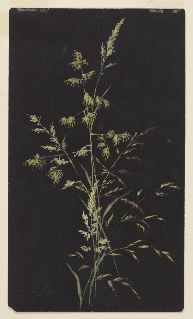 Drawing, Study of Grass in Seed