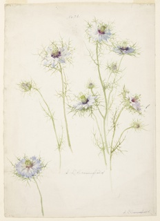 Drawing, Study of Love-in-a-mist