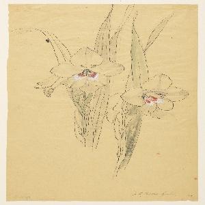 Drawing, Study of Amaryllises