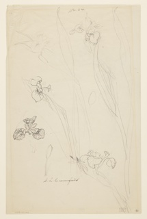 Studies of various parts of irises, including stems and blossoms, from different angles filling most of the sheet.