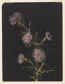 Vertical sheet depicting a stalk of thistles with five blossoms and leaves.