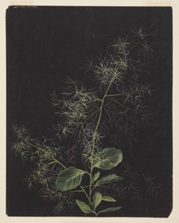 Drawing, Study of Plant, Possibly Tufted Hairgrass