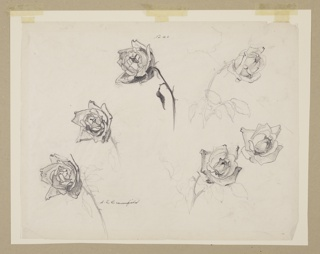 Drawing, Study of Roses