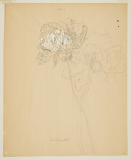 Vertical sheet depicting two peony blossoms whose stalks cross at the right. The blossom on the left has been drawn in pen and ink with white gouache; that at right, in graphite.