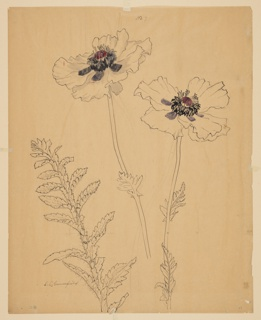 Drawing, Study of Poppies