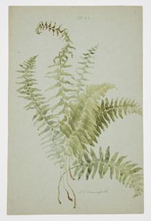 Drawing, Study of Fern
