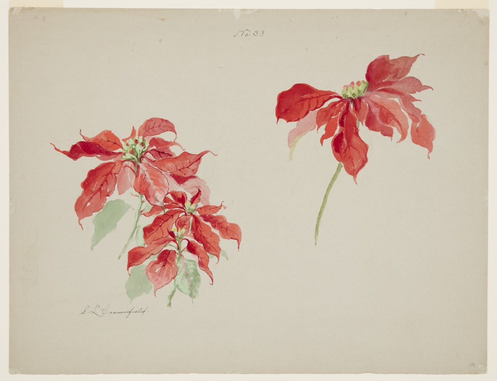 Drawing, Study of Red Poinsettias