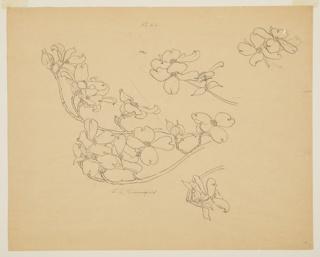 Drawing, Study of Dogwood