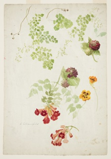 Drawing, Stuy of Maidenhair Fern, Trumpet Vine and Nasturtium