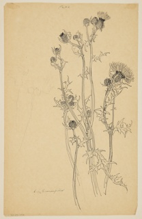 Drawing, Study of Thistle Plants