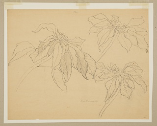 Drawing, Study of Poinsettias
