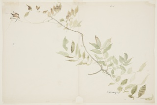 Drawing, Study of Wisteria Foliage