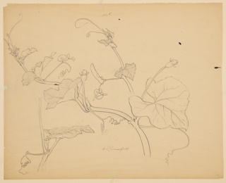 Horizontal sheet depicting two studies of squash vines with leaves, tendrils and blossoms.